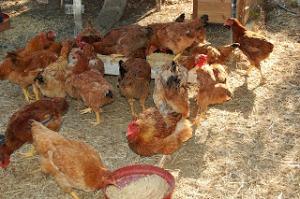 κοτόπουλα+τροφή